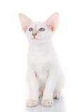 Le chat siamois de Balinese se repose sur un fond blanc Photo libre de droits