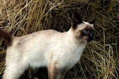 Le chat siamois regarde loin avec un regard intéressant image stock
