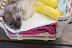 Le chat supérieur avec deux jambes cassées dort sur les protections traning dans c Photo libre de droits
