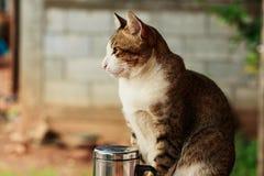 Le chat thaïlandais avec les rayures brunes sont regard reposé Images stock