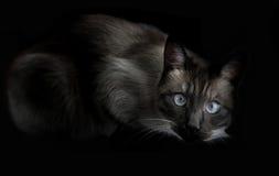 Le chat thaïlandais est un siamois traditionnel ou à l'ancienne Sur le fond noir Images stock