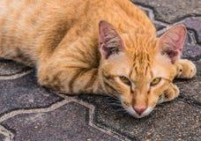 Le chat thaïlandais fort images libres de droits