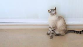 Le chat thaïlandais secoue sa tête banque de vidéos