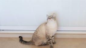 Le chat thaïlandais secoue son chef (moniteurs l'objet) banque de vidéos