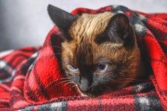 Le chat thaïlandais siamois est enveloppé dans un plaid avec un jouet mou Le concept de l'automne, hiver, froid Chauffage de atte image libre de droits