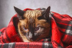 Le chat thaïlandais siamois est enveloppé dans un plaid avec un jouet mou Le concept de l'automne, hiver, froid Chauffage de atte photo stock