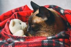 Le chat thaïlandais siamois est enveloppé dans un plaid avec un jouet mou Le concept de l'automne, hiver, froid Chauffage de atte photo libre de droits
