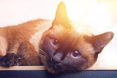 Le chat thaïlandais siamois se trouve et regarde dans l'appareil-photo, dans le cadre, dans l'âme Tristesse, mélancolie, solitude photographie stock libre de droits
