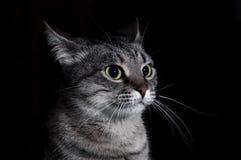 Le chat tigré Photos stock