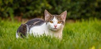 Le chat tigré blanc de peu de mois repose au printemps l'herbe image stock