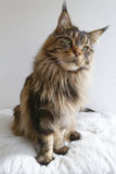 Le chat tigré brun adorable de Maine Coon avec le long lynx dense incline Image stock