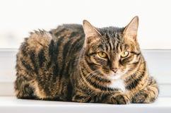 Le chat tigré se repose sur un filon-couche de fenêtre et regarde autour d'elle-même Images stock