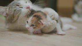Le chat tricolore de mère étreignant le petit chaton prend les premières étapes Le chat lèche le chaton vidéo animée lente de mod clips vidéos