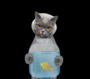Le chat va manger des poissons des banques de l'aquarium Image libre de droits