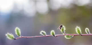 Le chat Willow Twig attire des insectes image stock