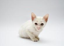 Le chaton blanc avec les yeux jaunes fixent Photographie stock