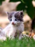 Le chaton blanc et gris se repose sur l'herbe Image stock