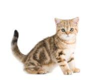 Le chaton de race des Anglais est isolé sur le blanc Image libre de droits
