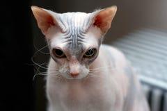 Le chaton de sphinx de plan rapproché regarde tristement vers le bas image libre de droits