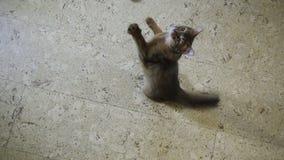 Le chaton des sauts somaliens sur la caméra banque de vidéos