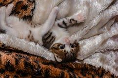 Le chaton espiègle se trouve sur la couverture de lit et est joué photographie stock libre de droits