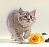 Le chaton et le jaune se sont levés Photographie stock libre de droits