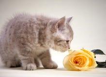 Le chaton et le jaune se sont levés Image stock