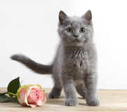 Le chaton et le rose se sont levés Photos stock