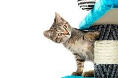 Le chaton gris avec les yeux bruns regarde pour des obstacles photo libre de droits
