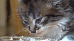 Le chaton gris mange du pâté et le lèche banque de vidéos