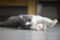 Le chaton gris mignon Image stock