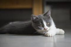 Le chaton gris mignon Image libre de droits