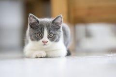 Le chaton gris mignon Photo libre de droits