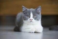 Le chaton gris mignon Photographie stock libre de droits
