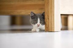 Le chaton gris mignon Images libres de droits