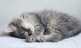 Le chaton gris pelucheux dort sur un oreiller Photos libres de droits