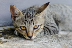 Le chaton gris se repose Photo stock
