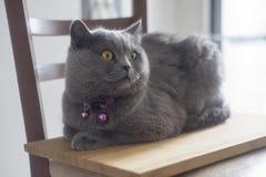 Le chaton heureux aime être frottée Le Shorthair britannique Photo stock