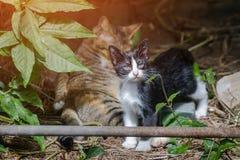 Le chaton jouait avec le chat qui se lèche et le regard autour Photographie stock