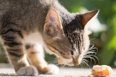 Le chaton mange Photo libre de droits
