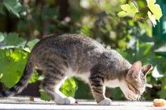 Le chaton mange Photos libres de droits