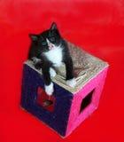 Le chaton noir avec les taches blanches est sur rayer des courriers sur le rouge Photographie stock