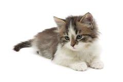 Le chaton pelucheux se trouve sur un plan rapproché blanc de fond Image libre de droits