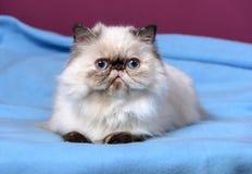 le chat persan mignon de colorpoint de tortie se trouve sur un fond bleu photo stock image du. Black Bedroom Furniture Sets. Home Design Ideas