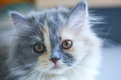 Le chaton persan regarde fixement, chat de bébé photographie stock