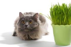 Le chaton persan se repose près de l'herbe Images stock