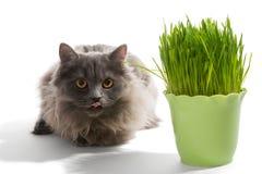 Le chaton persan se repose près de l'herbe Image libre de droits