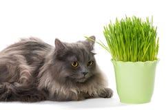 Le chaton persan se repose près de l'herbe Photos stock