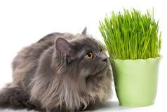 Le chaton persan se repose près de l'herbe Photo stock