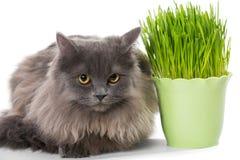 Le chaton persan se repose près de l'herbe Images libres de droits